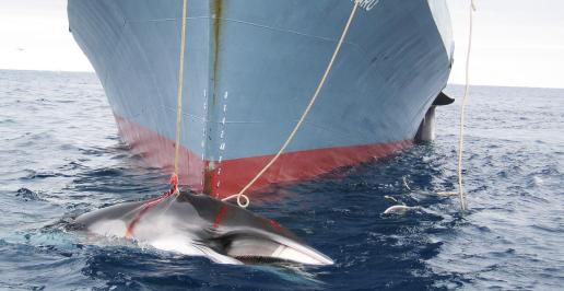"""#Scandale : Pour """"étudier"""" le système écologique de l'Antarctique, le Japon a massacré plus de 300 baleines. Pour les associations de défense des animaux et de l'environnement, ces études sont un prétexte et ils dénoncent """"un acte de cruauté commis au nom de la science"""""""