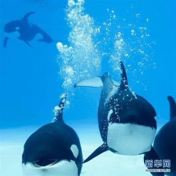 #Désastre :La Chine ouvre la première « ferme à orques ». La décision de faire naître des orques en captivité vise surtout à permettre aux parcs à thème d'avoir leur propre orque sans devoir en capturer dans la nature, ce qui revient trop cher... Pour info: les orques en captivité ont une espérance de vie inférieure à celle de leurs congénères en liberté.