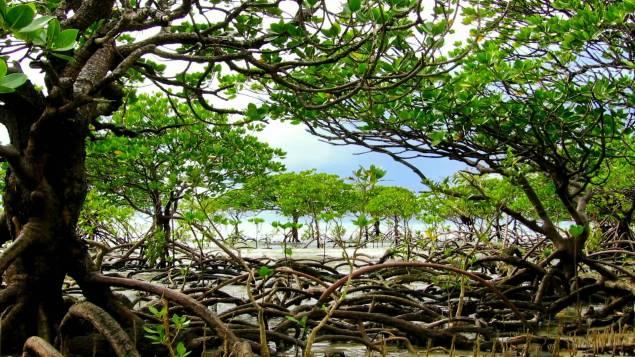 #Réchauffementclimatique : La mangrove australienne est en danger. Ce constat, établi par des chercheurs, laisse planer le doute quant à la survie de tout l'écosystème de cette région située dans le nord du pays : environ 7.400 hectares de mangrove auraient disparu depuis ces derniers mois.