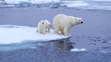 #Politique : La dernière décision du président des États-Unis a refroidi le monde entier. Donald Trump a signé un décret permettant la chasse des ours et des loups d'Alaska, jusque dans leur tanière. Une pratique interdite sous l'ère Obama.