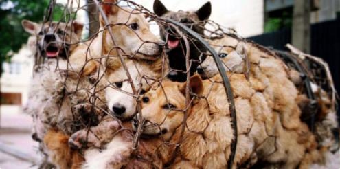 #Révolution : La consommation de viande de chien et de chat a été interdite par le Parlement mercredi à Taïwan, sous la pression des défenseurs d'animaux victimes de traitements cruels. Les députés ont approuvé une loi interdisant la consommation, l'achat ou la possession de viande de chien ou de chat, sous peine d'une amende pouvant atteindre l'équivalent de 7.715 euros.