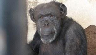 #Crueltyfree : Pour la première fois au monde, la justice argentine a délivré un chimpanzé qui déprimait dans un zoo. Le chimpanzé peut maintenant chanter gaiement Libéréééé, déliivréééé !