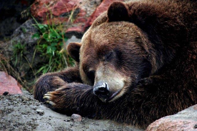 #USA : Au milieu des règles environnementales rayées par Trump, le règlement du Service fédéral de la chasse et de la pêche a été annulé. Cela permet dorénavant aux chasseurs de traquer les louves jusque dans leurs tanières, lorsqu'elles allaitent leurs petits; mais aussi de tirer sur des ours en hibernation.