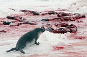 #Massacre : La chasse aux phoques est ouverte au Canada... Chaque année durant cette période, des dizaines de milliers de bébés phoques sont abattus ou tabassés à mort pour leur fourrure.