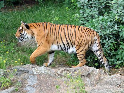 #Bonnenouvelle : Des tigres à l'état sauvage découverts en Thaïlande ! Il s'agit d'une espèce particulièrement menacée, c'est donc une très bonne nouvelle pour les associations de protection de l'environnement !